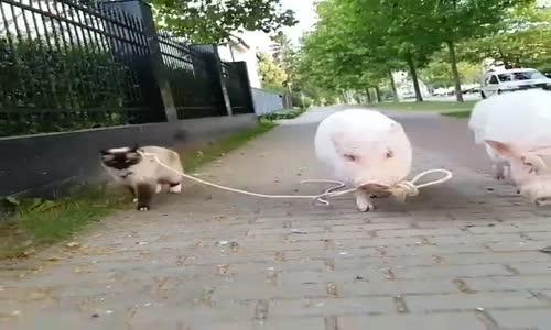 Прасета разхождат котка по улицата!