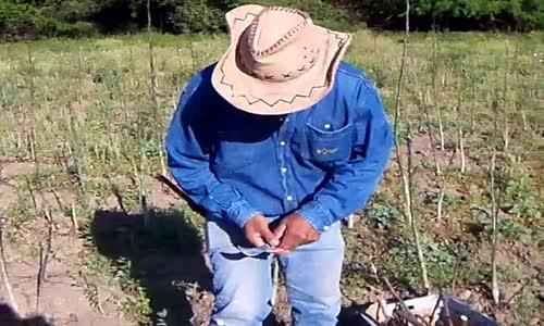Присаждане на овощни дръвчета на калем