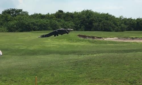 Гигантски алигатор реши да направи