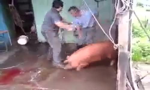 Неуспешен опит за умъртвяване на прасе