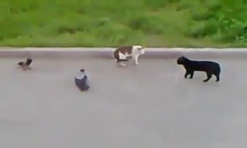 Котешки бой организиран от гарги